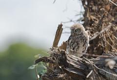 Little Owl-8500522 (seandarcy2) Tags: birds wild wildlife animals owls owl juvenile littleowl bucks uk birdsofprey nonnative woodland woodpile