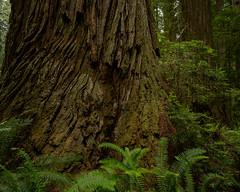 Redwood Tree (LutzSchramm) Tags: california kalifornien nikkorz724704s nikonz7 nordamerika redwoodhighway usavereinigtestaatenvonamerika unitedstatesofamerica crescentcity vereinigtestaaten