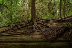 Dying tree donates life (LutzSchramm) Tags: california kalifornien nikkorz724704s nikonz7 nordamerika redwoodhighway usavereinigtestaatenvonamerika unitedstatesofamerica crescentcity vereinigtestaaten