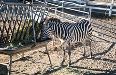 Zebra at Saddle Rock Ranch & Malibu Wine Safari - Malibu, California (ChrisGoldNY) Tags: chrisgoldphoto chrisgoldny chrisgoldberg bookcovers albumcovers licensing malibu malibuwinesafaris saddlerockranch california losangeles la socal cali westcoast america usa