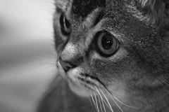 Un seul regard (7 Blue Nights) Tags: cat face portrait eyes looking blackandwhite soft sweet cute pet animal