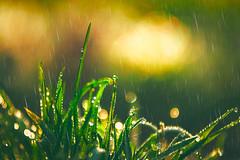 Splendor (Ans van de Sluis) Tags: ansvandesluis hortus bokeh bokehlicious botanic botanical flora floral flower forest leaf leaves macro nature sunny sunset tree winter rain splendor grass