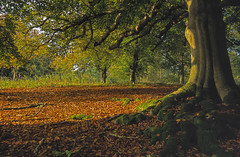 Blenheim Autumn, Blenheim Park, Oxfordshire (saffron100_uk) Tags: blenheimpark woods autumn oxfordshire woodstock velvia 35mm transparency trees leaves landscape pictorial autumncolours moss fallenleaves nikon f100 scan