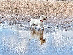 Westie reflection (Artybee) Tags: sunny westies westitude west highland white terrier dog beach sea mablethorpe seaside fun playing playtime lincolnshire reflections water