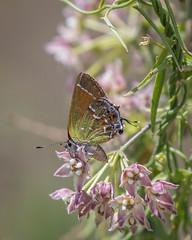 Juniper Hairstreak, Callophrys gryneus (webersaustin) Tags: