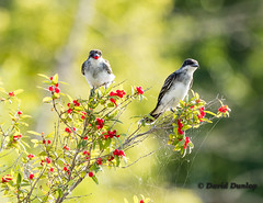 Kingbird with Berry (Dunner1) Tags: birds kingbird