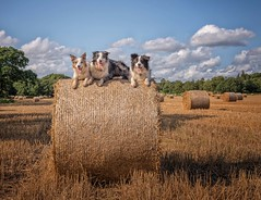 Farm Dogs (Chris Willis 10) Tags: will collies dogs haybales islay star agriculture farm ruralscene field bale hay nature summer outdoors straw meadow grass harvesting crop nonurbanscene animal sky landscape yellow landscaped