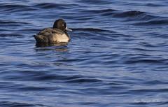 Tufted duck. (nondesigner59) Tags: aythyafuligula deepblue tuftedduck water wildlife nature bird duck female divingduck copyrightmmee eos7dmkii nondesigner nd59