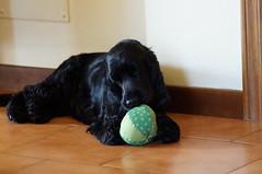 Luna (Laocoonte) Tags: luna cockerspaniel dog pet cane animaledomestico portrait