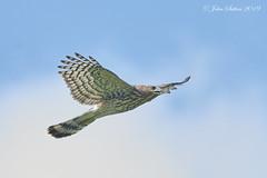 Cooper's Hawk - Juvenile (johnsutton580) Tags: corinth vermont unitedstates