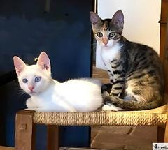 Gatitos lindos (In Dulce Jubilo) Tags: animal animals gato cat kitten gatitos dos two bonitos nice diseño fotografía photography espagne españa estudio tigre tiger felino feline lindos