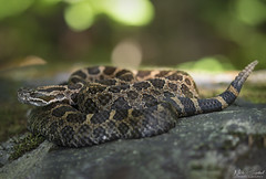 Eastern Massasauga Rattlesnake (Nick Scobel) Tags: eastern massasauga rattlesnake sistrurus catenatus michigan rattler pit viper venomous snake pattern scales coiled hidden cryptic texture beautiful sun rise warmth rays beams forest leaves scenic wide angle habitat