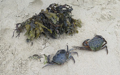 Still life on Portsall beach (Sokleine) Tags: crabes two deux algues sand sable univermarin seaside portsall 29 finistère bretagne breiz brittany france