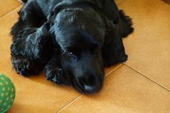 Luna (Laocoonte) Tags: dog cane lna pet luna cockerspaniel cocker animaledomestico sony alpha