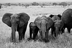 Elephants, Tarangire National Park, Tanzania - Version 2 (Black & white) (Alex_Saurel) Tags: afrique outdoor plain tree wildlife bush tembo africa tanzanie savanna greatafricanrift elephant vegetation nature scenic animal savane day plaine arbre rift 85mmf14za