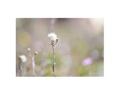 Perspectivas de la naturaleza... (EFD-fotolab) Tags: nikkor105mm nikond610 nikon macrofotografia macro españa verano flores bokeh perspectivas naturaleza