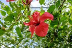 DSCF2808 (LexomIA) Tags: botanique dordogne