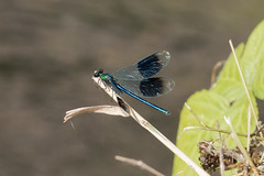 Banded Demoiselle (Baractus) Tags: earlswood lakes uk warwickshire john oates dragonfly