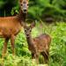 Chevreuils - faon - Phalempin - Roe deer