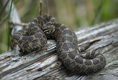 Eastern Massasauga Rattlesnake (Nick Scobel) Tags: eastern massasauga rattlesnake sistrurus catenatus michigan rattler pit viper venomous snake pattern scales coiled hidden cryptic texture beautiful