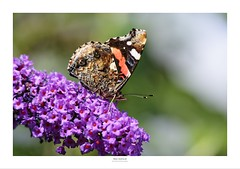 Red Admiral (Myrialejean) Tags: redadmiral butterfly insect garden nymphalids vanessaatalanta