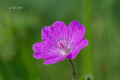 Fleur Géranium sauvage (Philippe30670) Tags: macro fleur géraniumsauvage hautespyrénées