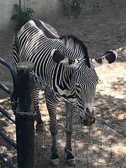 236/365/8 (f l a m i n g o) Tags: 2019 17th august saturday denver zoo animal zebra 365days project365