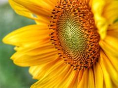 Sonnenblume (bilderbuilder1) Tags: sonne sommer nahaufnahme mzuiko60mm makro olympus flowers blumen sunflower sonnenblume