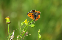 Last photographs before going to Wales: fun with small coppers (Elisa1880) Tags: kleine vuurvlinder lycaena phlaeas small copper the hague solleveld vlinder butterfly insect den haag nederland netherlands
