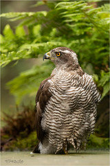Goshawk - The Look (Gertj123) Tags: bird bokeh birdofprey nature netherlands hide hbn5 haaksbergerveen avian animal hanbouwmeester wildlife water summer canon