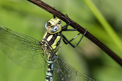 Southern Hawker (Baractus) Tags: southern hawker clowes wood warwickshire wildlife trust uk john oates dragonfly