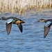 Blue-winged Teal pair