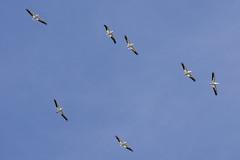 American white pelicans (Pelecanus erythrorhynchos) (octothorpe enthusiast) Tags: saskatchewan northeastswale meewasin saskatoon bird pelecanuserythrorhynchos americanwhitepelican