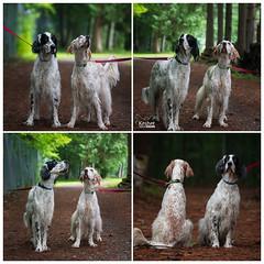 English Setter problems (Keshet Kennels & Rescue) Tags: adoption dog dogs canine ottawa ontario canada keshet large breed animal animals kennel rescue pet pets field nature summer photography english setter portrait session notpayingattention hunt search birds looking away