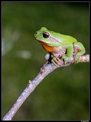 Rainette (boblecram) Tags: hyla meridionalis grenouille rainette frog nature