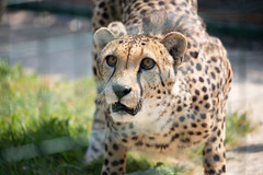 Cheetah (robertcampbellphotography) Tags: bigcatsanctuary animal bigcat cheetah