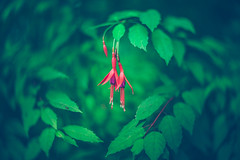 fuchsia (Dhina A) Tags: sony a7rii ilce7rm2 a7r2 a7r carl zeiss jena kipronar 70mm f14 kipronar70mmf14 vintage cine 16mm projection projector lens petzval modified artistic 2groups 4elements swirl swirly smooth bokeh manualfocus