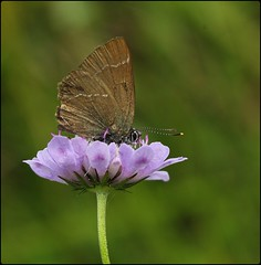 White-letter Hairstreak on Field Scabious (glostopcat) Tags: hairstreak butterfly lepidoptera insect invertebrate macro summer july glos wildflower fieldscabious butterflyconservation prestburyhillnaturereserve whiteletterhairstreakbutterfly