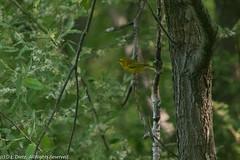 Yellow Warbler 2 (DL_Dietz) Tags: naturephotography nature natur coth5 animals birds wildlife wildlifephotography yellowwarbler canoneos5dmarkiv