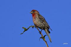House Finch (jt893x) Tags: 150600mm bird d500 finch haemorhousmexicanus housefinch jt893x male nikon nikond500 sigma sigma150600mmf563dgoshsms songbird