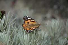 Butterfly (ec1jack) Tags: folkestone kent england britain uk europe august seaside coast port channel chanel sea ec1jack kierankelly summer papillon butterfly farfalla motyl schmetterling vlinder vijwouter borboleta mariposa