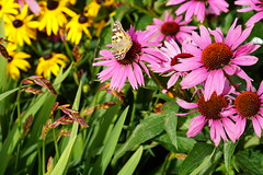 Echinacea and Butterfly 3038 (Dorset Photographic) Tags: echinacea butterfly