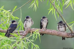 Purple Martins in A Willow (Daniel Cadieux) Tags: martin purplemartin four willow ottawa swallow