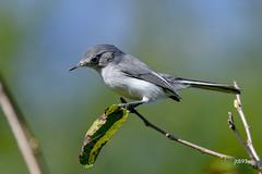 Blue-gray Gnatcatcher (jt893x) Tags: 150600mm bluegraygnatcatcher breeding d500 gnatcatcher jt893x nikon nikond500 polioptilacaerulea sigma sigma150600mmf563dgoshsms songbird