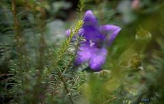 PLANT (Fimeli) Tags: nature natur pflanze plant blüte blossom gras green color bokeh macro