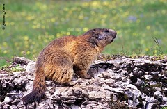 Marmot (silvano fabris) Tags: nature canonphotography wildlifephotography natura animali animals marmotta marmot