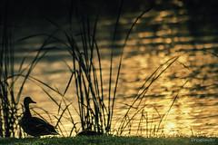 Balaton, Keszthely 05 (gergely.t.springer) Tags: nikon d3500 hungary magyarország keszthely sunrise duck nature animals goldenbridge