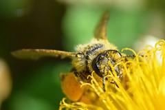 bee on a dandelion (Hrvoje Šašek) Tags: pčela bee honeybee apis cvijet flower bloom biljka plant cvijeće flowers insect kukac životinja animal macro cloeup closeup d3300 priroda nature mountainmountains planina planine planinarenje hiking meadow livada krndija papuk kapovac smileonsaturday beeautiful maslačak dandelion