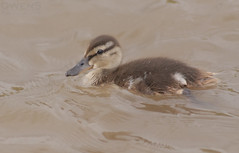 Little Duckling (OwenSPhotography) Tags: bird birds water wild life wildlife england nature natural duckling