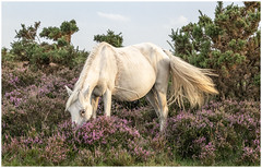 In The Heather (A Journey With A New Camera) Tags: newforest pony newforestpony heather dorset